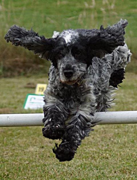 Cocker spaniel jumping agility