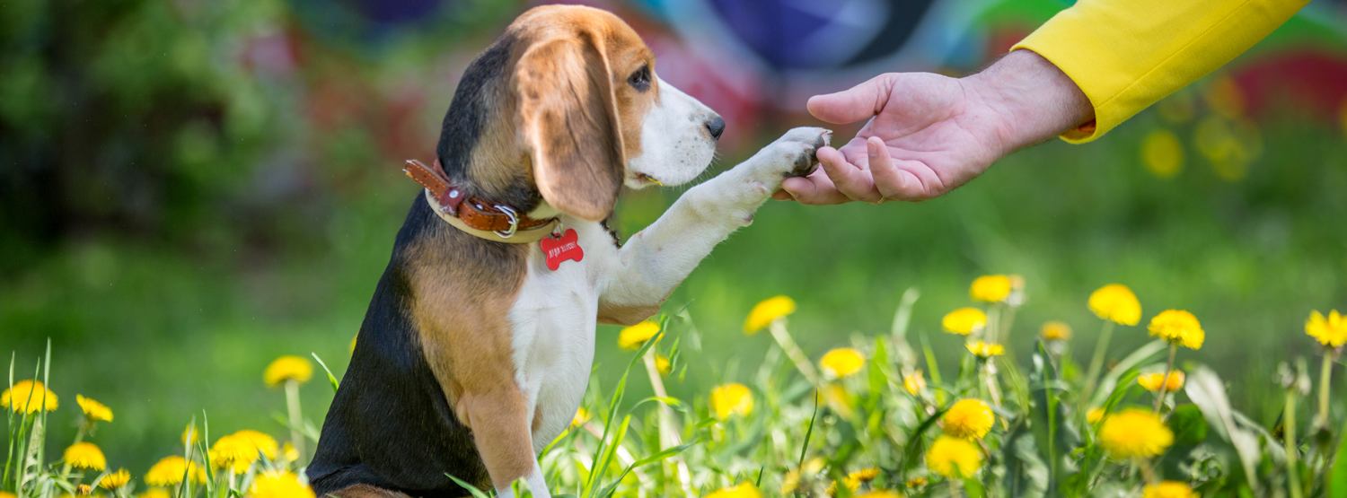 Beagle puppy training to give paw