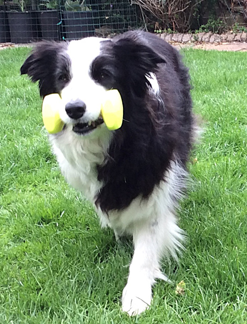 Border Collie - training to fetch