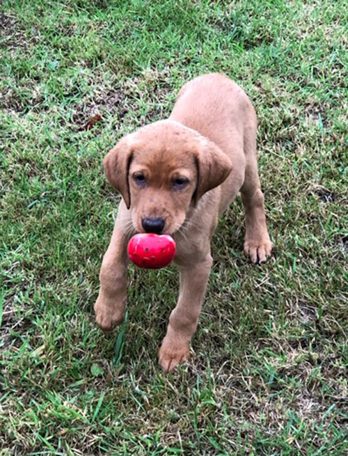 puppy fetching ball